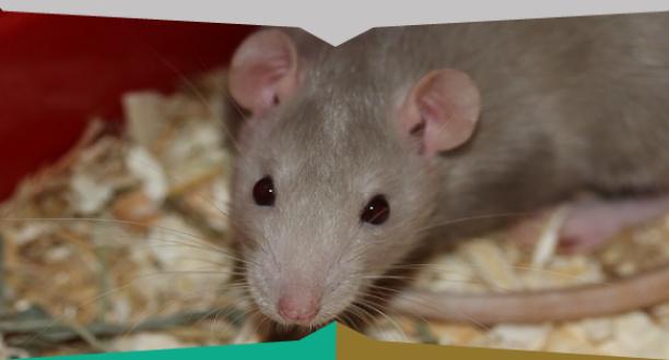 Come tenere lontano i topi da casaiside disinfestazioni - Come uccidere i topi in casa ...